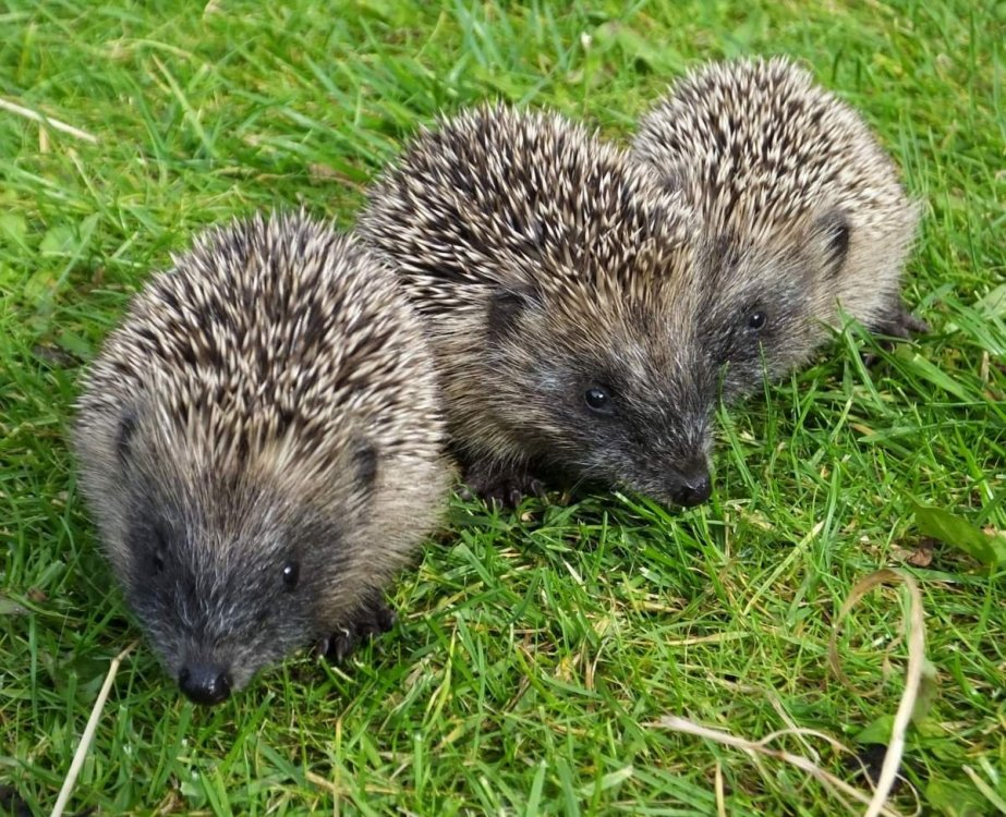 Hedgehogs-Zoe-Shreeve.jpg